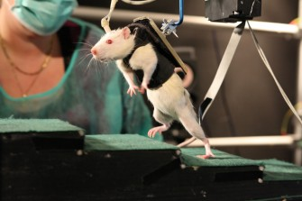 Paralysie : des rats paralysés retrouvent la capacité de marcher