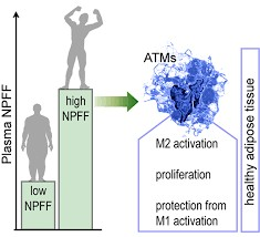 Le neuropeptide FF: une nouvelle hormone qui protège le tissu adipeux de l'inflammation